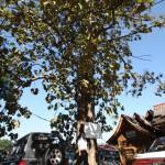 チークの樹木写真
