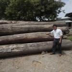 アジアンウォールナットの原木