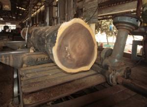 アジアンウォールナットの原木断面